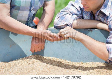 Farmers Looking At Wheat Grain
