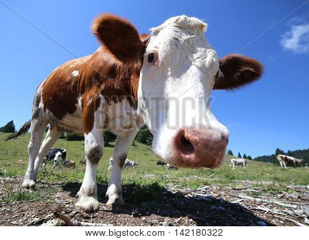 Nose Cow In The Mountains Photographed By Fisheye Lens