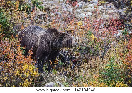 Big brown bear looking for berries, edible roots and acorns. Autumn forest in Jasper National Park, Canada