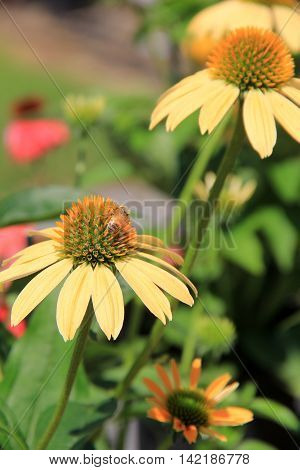 Beautiful yellow flowers with a bee that has landed on one.