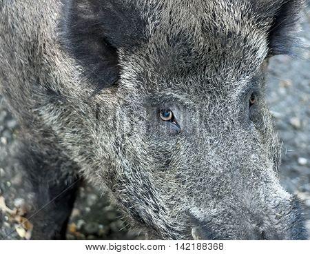 Wild boar, wild animal close-up shot. Animal eye.
