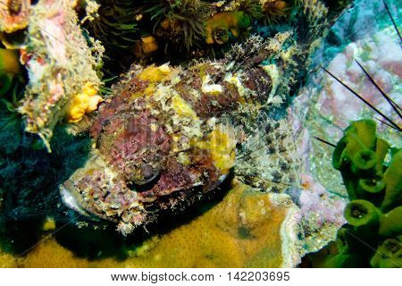 Scorpion fish from Gulf of Thailand, Chumphon, Thailand