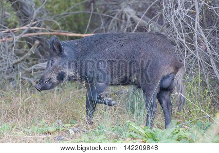 Wild Boar (Sus scrofa) in alert; Santa Clara County, California, USA. Common name: Wild boar, wild hog, feral pig, feral hog, Old World swine, razorback, Eurasian wild boar, Russian wild boar