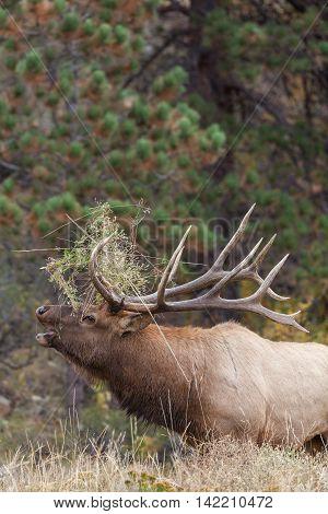 a big bull elk bugling during the fall rut
