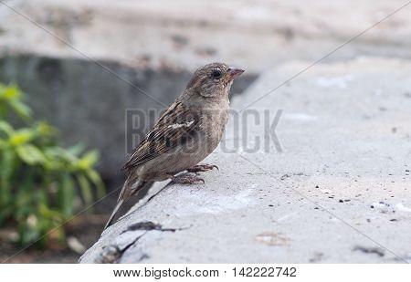A cute brown female sparrow is sitting on the asphalt.