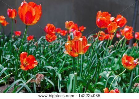 Bright Red Tulips In A Flowerbed In A Park