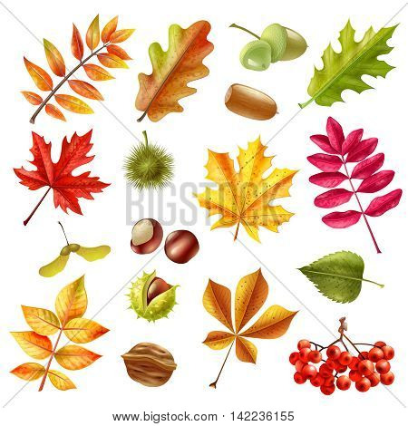Beautiful colorful autumn leaves from different trees chestnut ashberries and acorn set isolated on white background flat vector illustration
