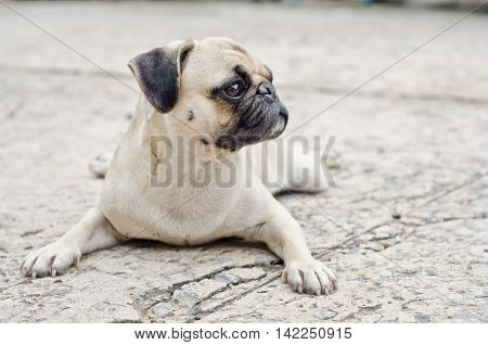 Sad Dog Waiting.very Sad Dog. Sad Border Terrier. Clever Dog. The Dog Is Sick And Misses His Owner.