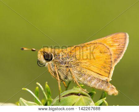 Tiny Sachem Skipper butterfly resting on a flower bud