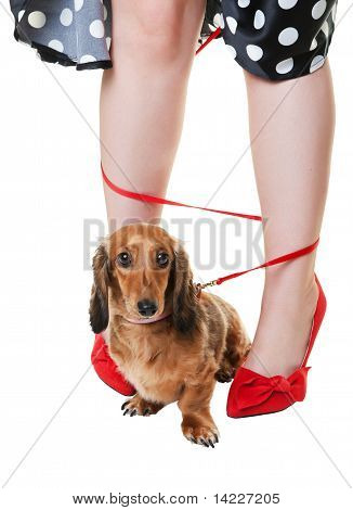 Tangled Dachshund Dog