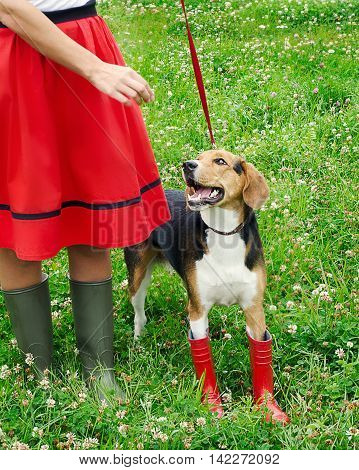 Woman With Beagle Puppy