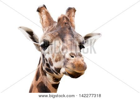 Young Cute Giraffe