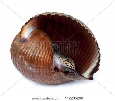 Very Large Live Sea Snail (tonna Galea Or Giant Tun)