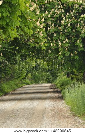 Blooming chestnut trees along the gravel road. Early spring white flowers