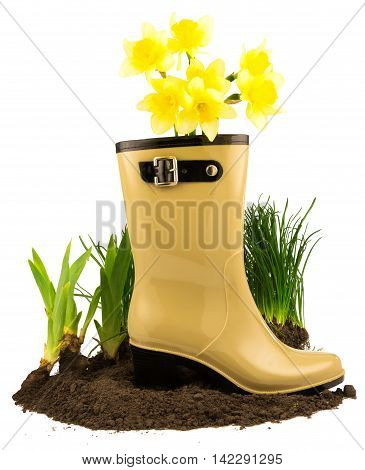 Rubber boots with spring yellow flowers daffodils grass and ground isolated on white background