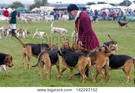 WEEDON, UK - AUGUST 28: An unnamed member of a local hunting group shows his hounds off to the public before inviting them into the arena at the Bucks County show on August 28, 2014 in Weedon