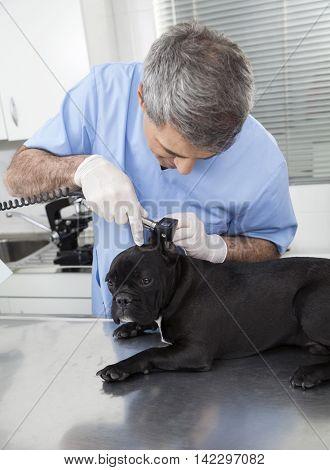 Male Vet Examining French Bulldog With Otoscope