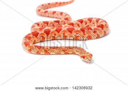 Albino corn snake (Red Rat Snakeon) on white background
