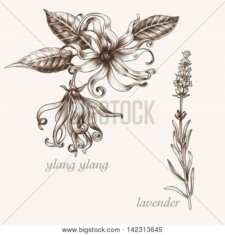 Set of vector images of medicinal plants. Biological additives are. Healthy lifestyle. Ylang lavender.