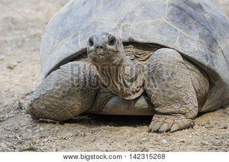big tortoise walking on the sand of beach