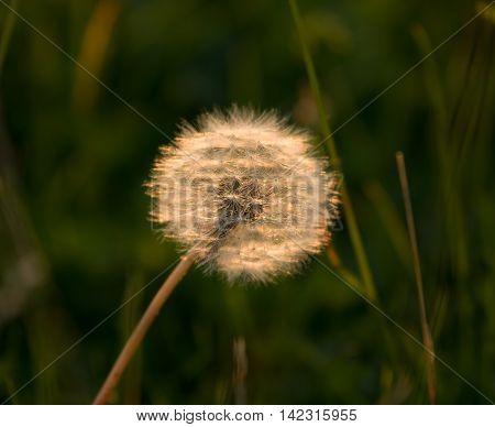 Dandelion seedhead or