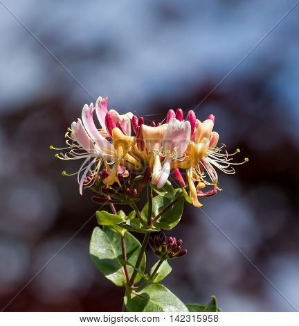 Climbing shrub scented Honeysuckle flowers during July.