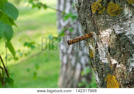 tube and drop of birch sap and birch branches