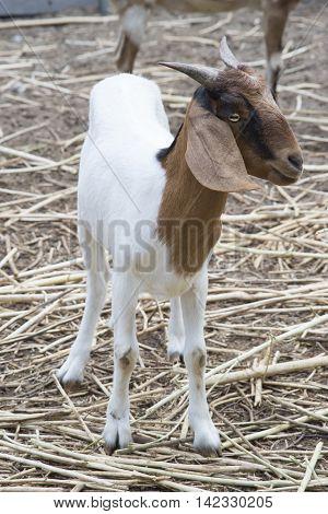 goat portrait goat standing smile of goat