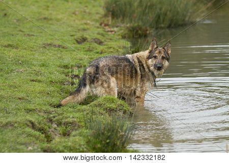 Playful German Shepherd Dog In Water