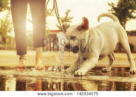 labrador puppy playing as an adult dog at a water fountain at sunset and barks at them