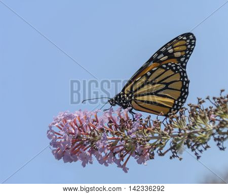A Monarch Butterfly  (Danaus plexippus) feeding on a cluster of Butterfly bush blossoms on a sunny day.