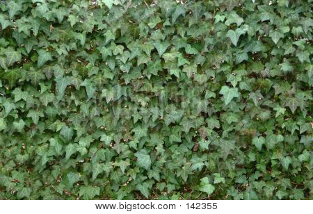 English Ivy  (hedera Helix L.