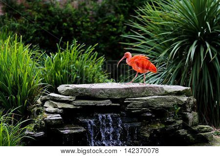 Scarlet Ibis Eudocimus Ruber At The Edge Of Waterfall