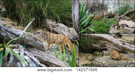 Collage Of Yellow Mongoose Cynictis Penicillata