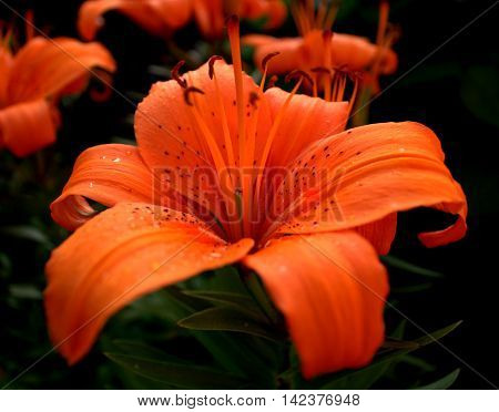 Red Lily ( Lilium bulbiferum), with some rain drops