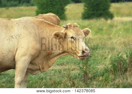 blonde cow ruminating in a field country