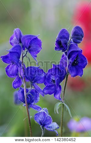 Close up of  Western Monkshood close up