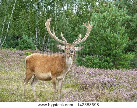 Red deer (Cervus elaphus) holds up its neck to look for predators