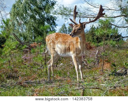 Young fallow deer turns around to inspect its environment