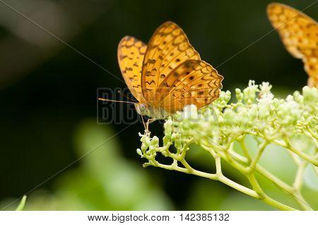 The leopard butterfly (Phalanta Phalanta) is feeding on Bandicoot Berry (Leea indica) poster