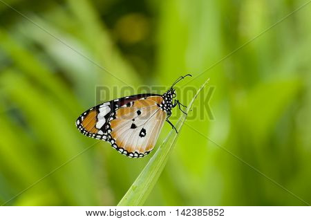 Male Plain tiger butterfly (Danaus chrysippus form alcippoides) is resting on leaf