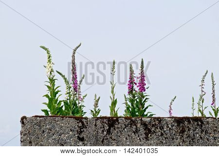 Pink and white flowers on concrete wall. Digitalis (Purple Foxgloves) at Simon Fraser University garden British Columbia Canada.