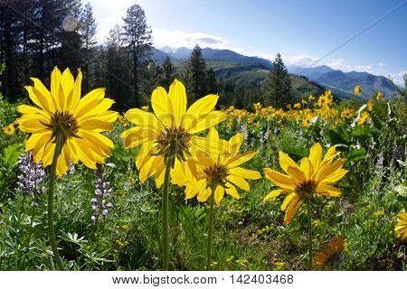 Backlit sun flowers arinca. Balsam Root blooming on Patterson Mountain near Winthrop North Cascades National Park Washington State USA.