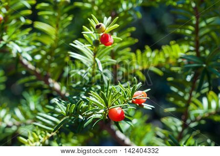 Yew tree with red fruits. Taxus baccata. Close up