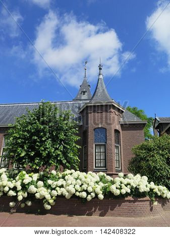 White hydrangea flowers on the bush in the flower garden in Urk Holland