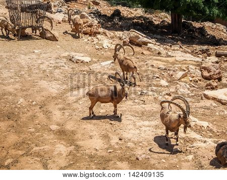 JERUSALEM ISRAEL - MAY 8: Nubian ibexes in Biblical Zoo in Jerusalem Israel on May 8 2016