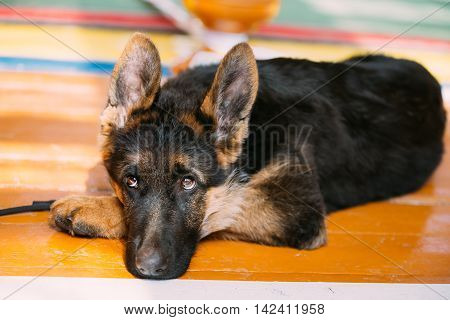 Young German Shepherd Dog Puppy Sitting On Wooden Floor. Alsatian Wolf Dog.