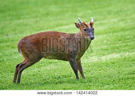 Reeves muntjac (Muntiacus reevesi) standing in grass seen from the side