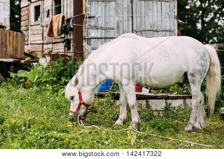 Side View Of Standing Nice White Pony Is Eating Grass At The Court Of Countryside Ranch. Nag In Red Bridle, Wooden Hut Background.