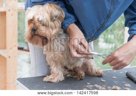 Grooming paws of Yorkshire terrier. Dog is sitting on the grooming table.